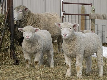 Moonshine Dorset Winter Lambs