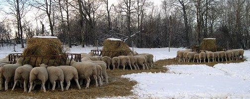 Sheep Feeding Time